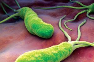 microbiote : bactérie de l'estomac helicobacter-pylori